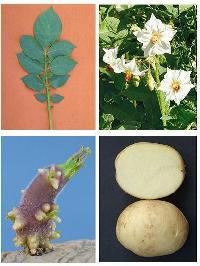 Kufri Badshah Potato Seeds