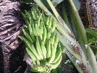Tissue Culture Normal Nendran Banana Plants