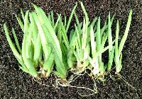 Tissue Culture Aloe Vera Plants