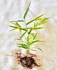 Tissue Culture Stocksii Bamboo Plants