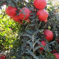 Tissue Culture Pomegranate Plants