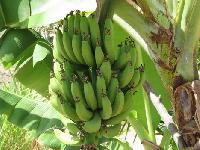 Tissue Culture Quintal Nendran Banana Plants