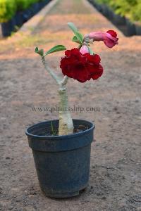Adenium Red Plant