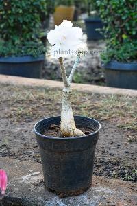 Adenium White Plant
