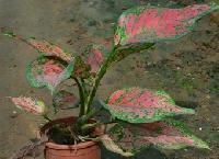 Aglonimma Thai Red
