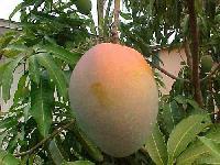 Basther Mango Plant