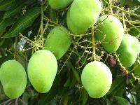 Creeper Mango,Pandiri Mango Plant