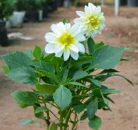 Mini Dahlia white