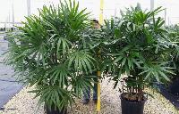 Rafix Palm Plant