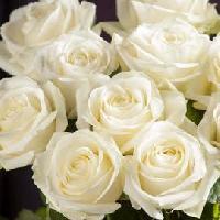 Dutch White Roses
