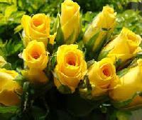 Dutch Yellow Roses