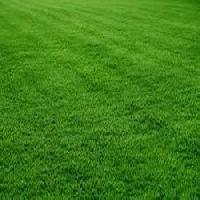 Natural Taiwan Lawn Grass