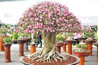 Adenium Bonsai Plant