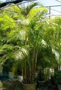 Cane Palm Plant