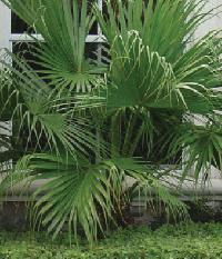 Livistona Chinensis Palm Plant