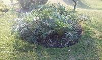 Phoenix Roebelenii Palm Plant