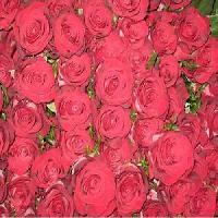 Cut Flower Rose