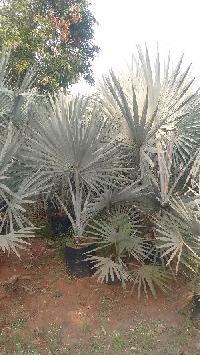 Bismarckia Palm Plant