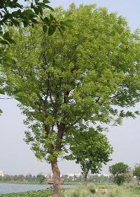 Mahogany Plants