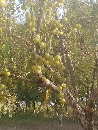 Fresh Amla Fruits