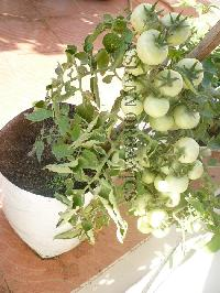 Tomato Plant Growth Promoter