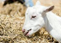 Goats Feed