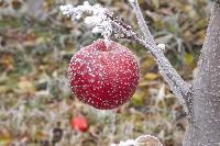 Frozen Apple