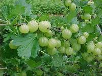 Indian Gooseberry Plant