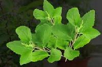 Fresh Tulsi Leaves