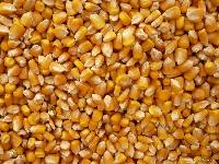Cattle Feed Maize