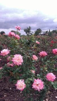 Indian Rose Plants