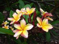 Plumeria Plants