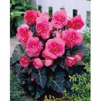 Begonia Tuberous Flower Bulbs