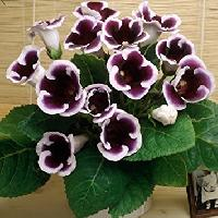 Gloxinia Flower Bulbs