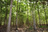 Teak Wood Plantation.