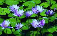 Blue Lotus Small
