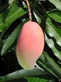 Neelum Mangoes