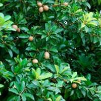 Sapota Plants