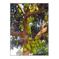 Jackfruit Plants