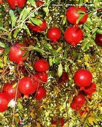 Sinduri Pomegranate Plants