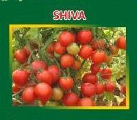 Shiva Hybrid Tomato Seeds