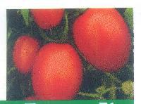 Kanchan Tomato Seeds