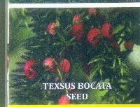 Taxus Baccata Seeds