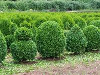 Shrub Plants