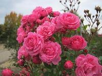 Button Roses