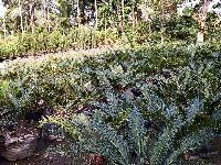 Caucus Palm Plants