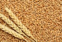 Wheat Seeds