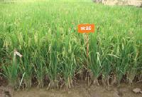 IR-20 Rice