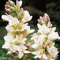 Tuberose Flower Bulbs