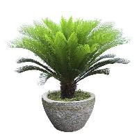 Cycus Palm Plant
